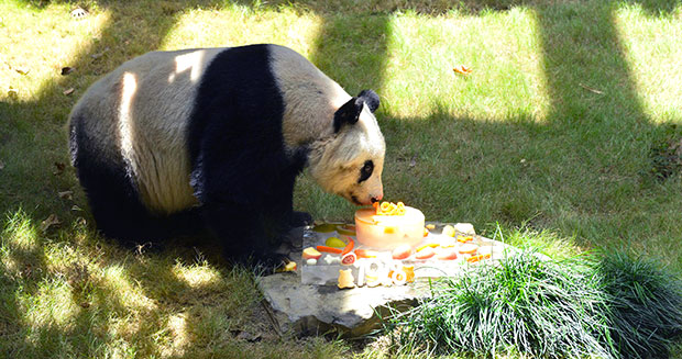 oldest-panda-ever-in-captivity-birthday-cake