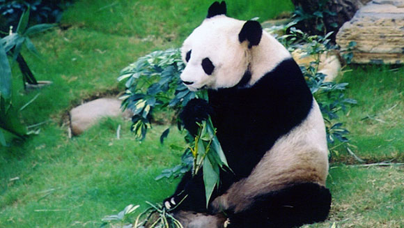 oldest-panda-ever-in-captivity-header
