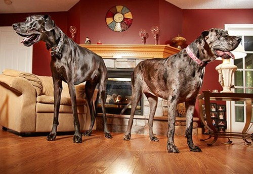 zeus_morgan_-_tallest_dogs_-_male_female_500x345
