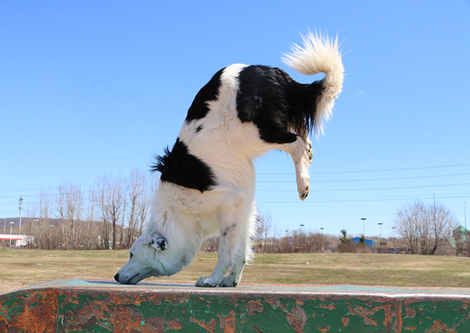 Hero-the-super-collie