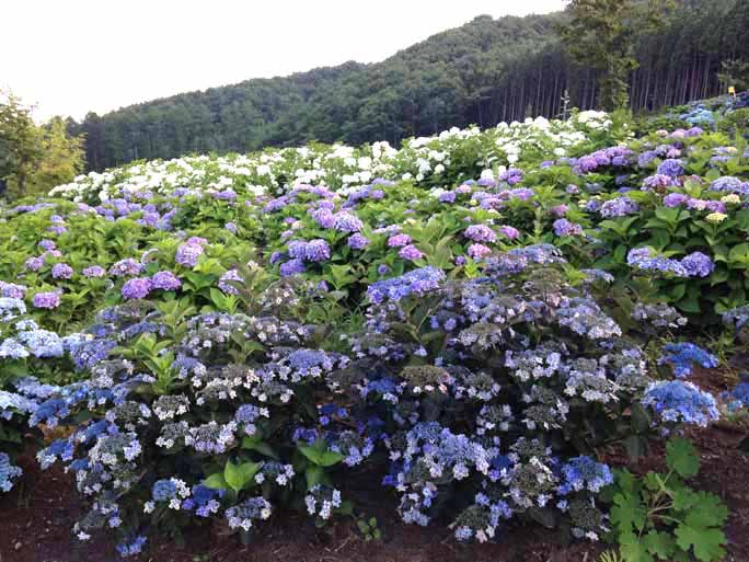 Most varieties of hydrangea