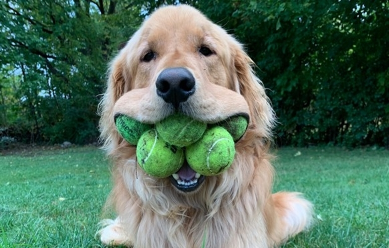 Most tennis balls held in the mouth by a dog